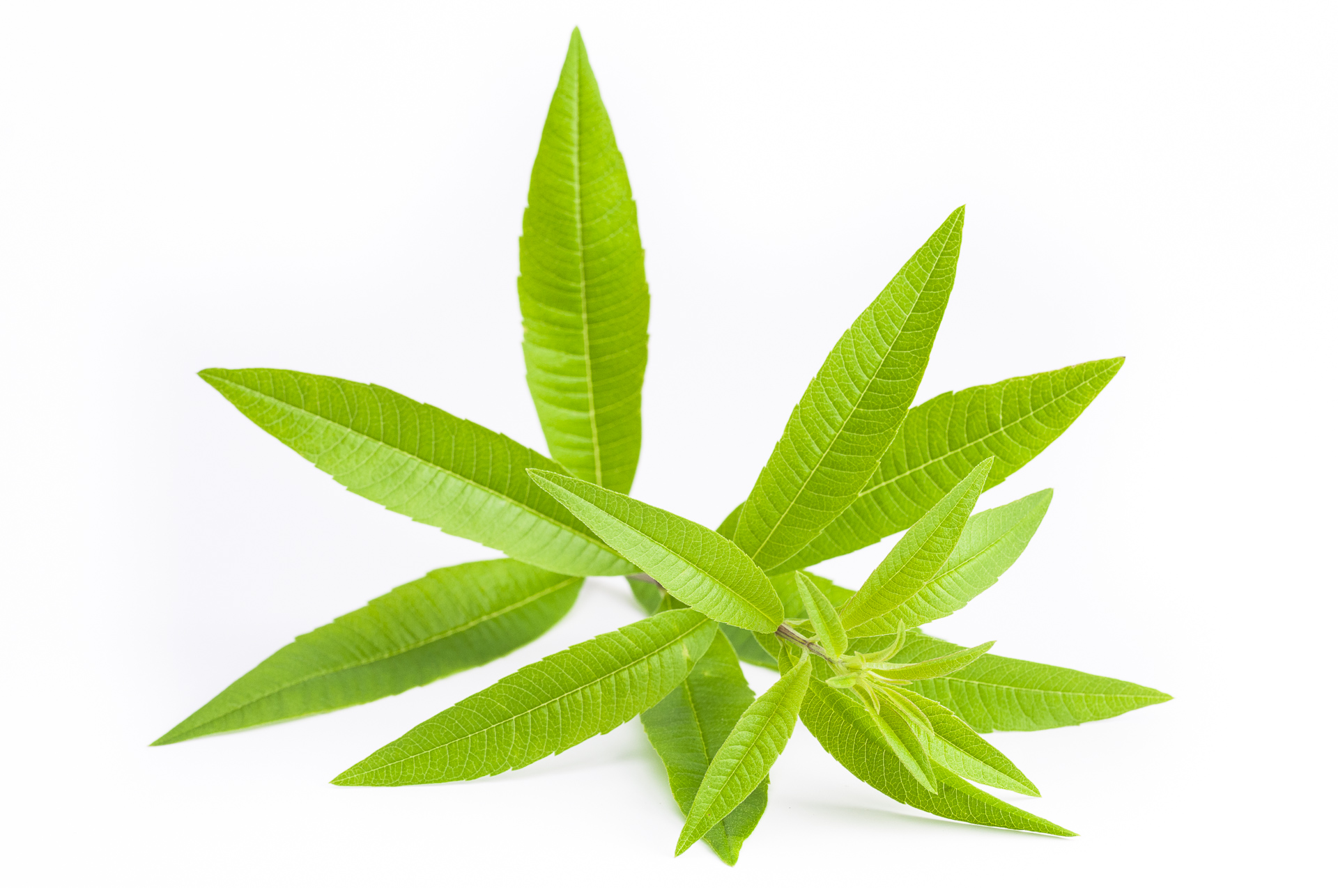 Aloysia citrodora - Zitronenverbene